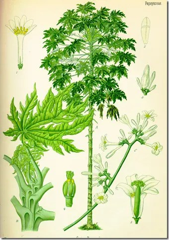 Color drawing depicting the Papaya plant and its various components
