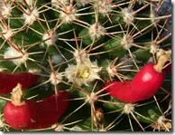 Pincushion cactus showing flowers and elongated red fruit