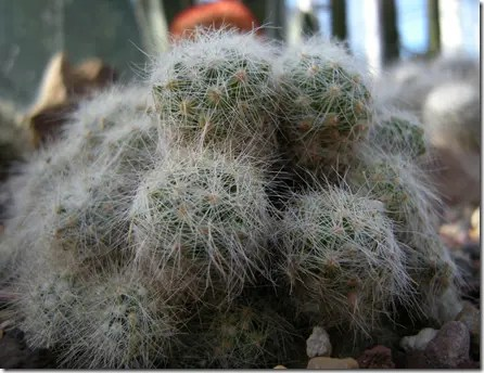 Some Pincushion cactus may appear to be covered in hair