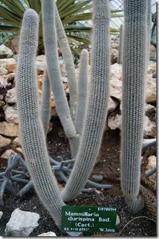 Occasionally you may find elongated, barrel-shaped Pincushion cactus