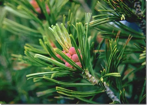 Pine tree needles and new cones