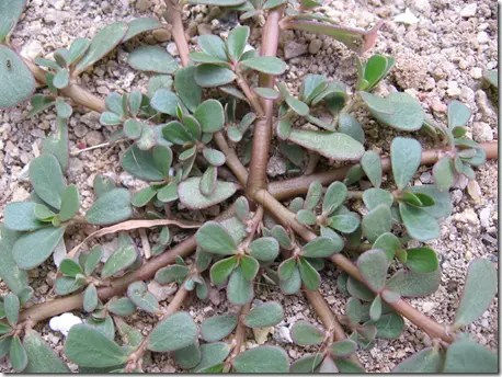 Purslane plant stems branch from a central root