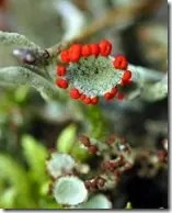 Reindeer Moss occasionally has red reproductive structures but technically are not flowers