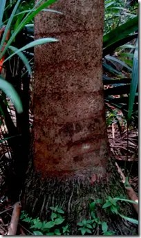 Sago Palm tree trunk