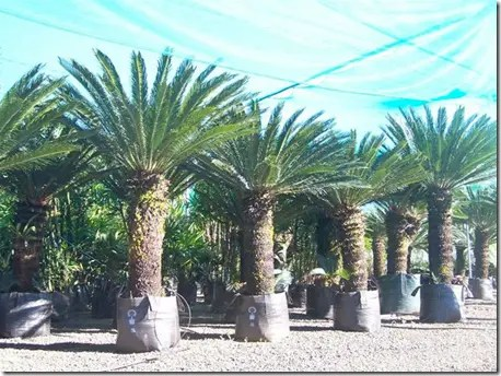 Cultivated Sago Palm trees