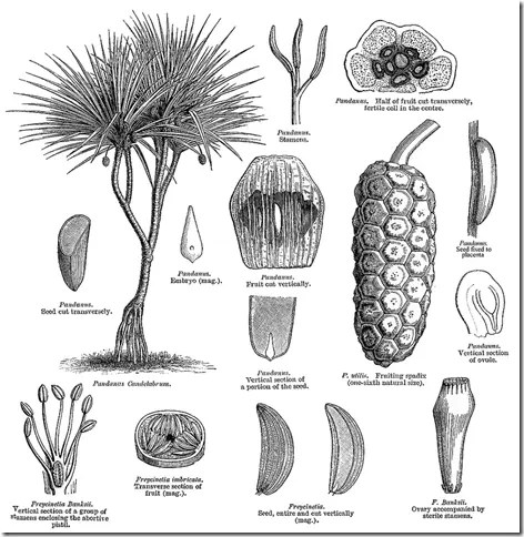 Drawing of Screw Pine illustrating the plant's components