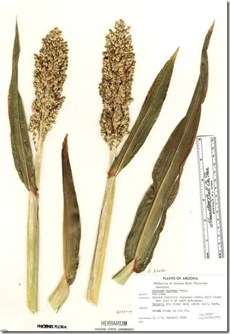Sorghum plant samples including stems, grain, and leaves