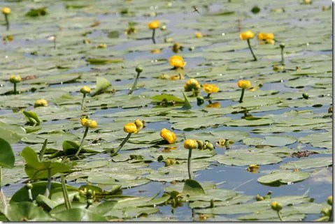 Surface of water covered with Spatterdock or Water Lily plants