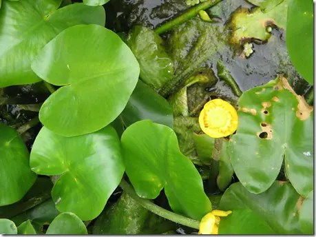 Spatterdock or Water Lily leaves are oval with a notch on the stem side