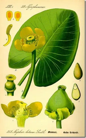 Color drawing of Spatterdock or Water Lily illustrating the plant's components