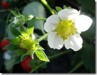 Only eat strawberry plants with white flowers