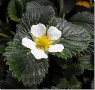 Strawberry plant leaves and flower