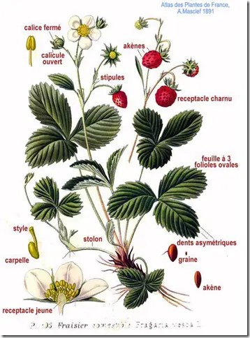 Color drawing of a Strawberry plant illustrating leaves, fruit, and flowers