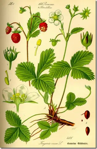 Color drawing of a Strawberry plant illustrating the plant's various components