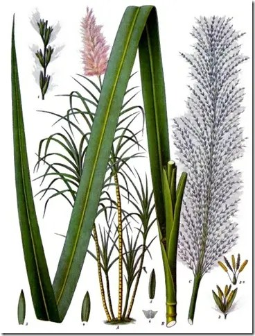 Color drawing of Sugarcane leaf, plant, and flowers