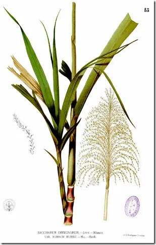 Drawing of Sugarcane plant