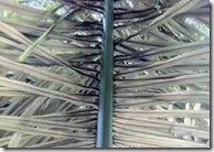 The underside of Sugar Palm leaves are typically grayish in color (and dark green on top)