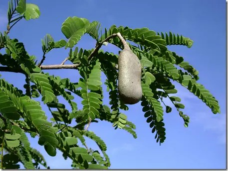 Close up of Tamarind foliage and fruit