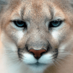 Mountain Lion Dangers and how to defend yourself against a Mountain Lion attack
