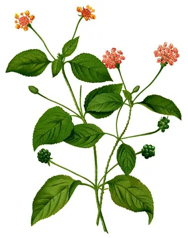 Drawing of Lantana plant illustrating the plant's leaves, stems, flowers and seeds