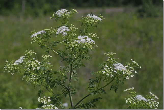 Top head of a Poison Hemlock plant