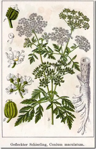 Color drawing of Poison Hemlock plant illustrating the plant's stems, flowers, root system, and seeds