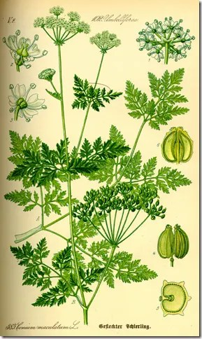 Color drawing of Poison Hemlock plant illustrating the plant's components and cross section of seed pods