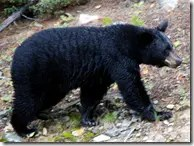Black Bear in the wilderness