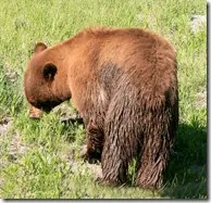 A brown colored Black Bear