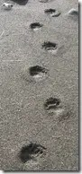 Black Bear tracks showing footprints in the mud