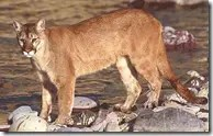 Mountain Lion (Cougar) in the wild