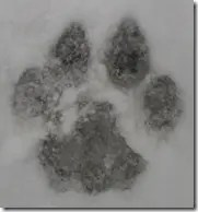 Front paw print of a Mountain Lion (Cougar)
