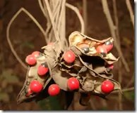 Rosary Pea seeds in pod