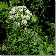 Water Hemlock plant and white clustere flower head