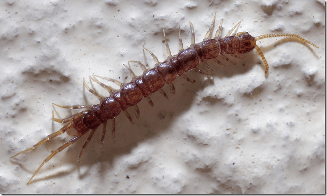 All about the Centipede – their habitat, sting, treatment