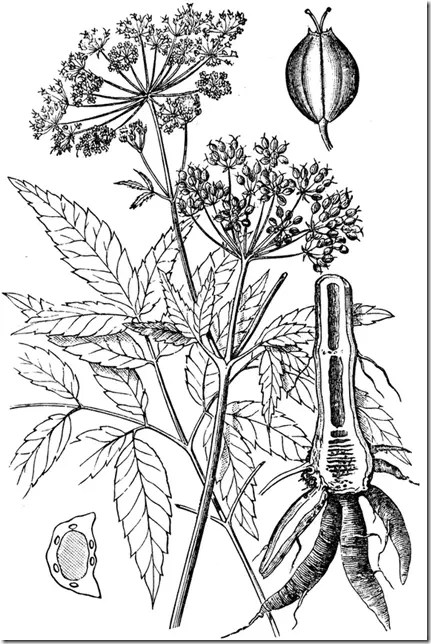 Drawing of the Water Hemlock plant