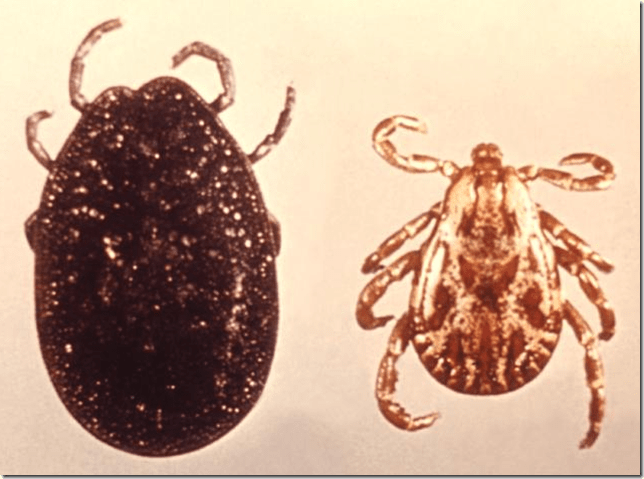 Difference in tick appearance when engorged with blood