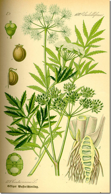 Color drawing of the Water Hemlock plant illustrating the plant's stems, leaves, seeds, fruit, and root structure