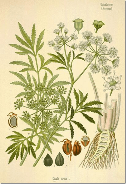 Drawing of the Water Hemlock plant illustrating the plant's components