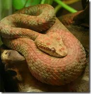 Pink is one of the common Eyelash pit viper colorings