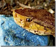 The head of a Fer-de-lance or Lancehead snake