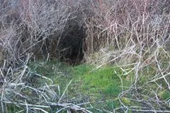 An animal has tunneled through the vegetation