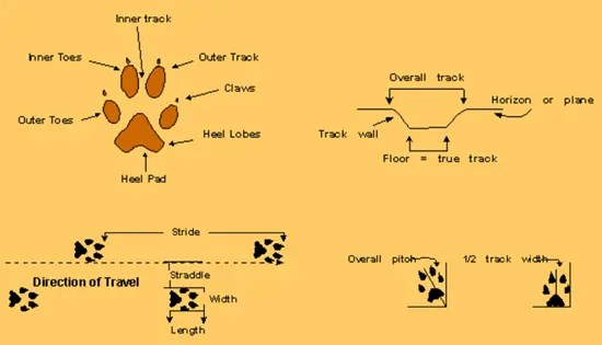 Animal tracking - measuring track, stride, straddle, width, length, pitch, and true track