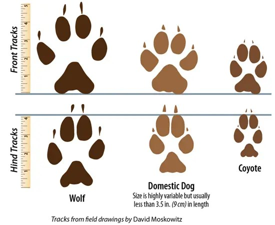Difference between wolk, domestic dog, and coyote tracks
