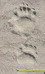 Black bear tracks are flat-footed, large, and somewhat human in appearance