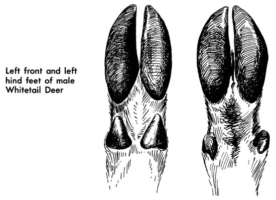 Left front and left hind feet of male Whitetail deer