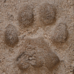 Mountain lion track in sand