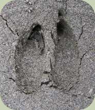 identify deer tracks photo