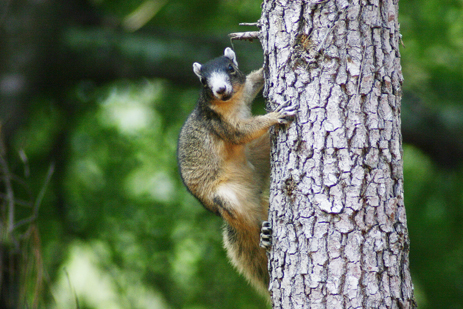 Report fox squirrel sightings in Florida Sherman's Fox Squirrel