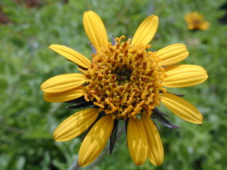 Bush sunflower